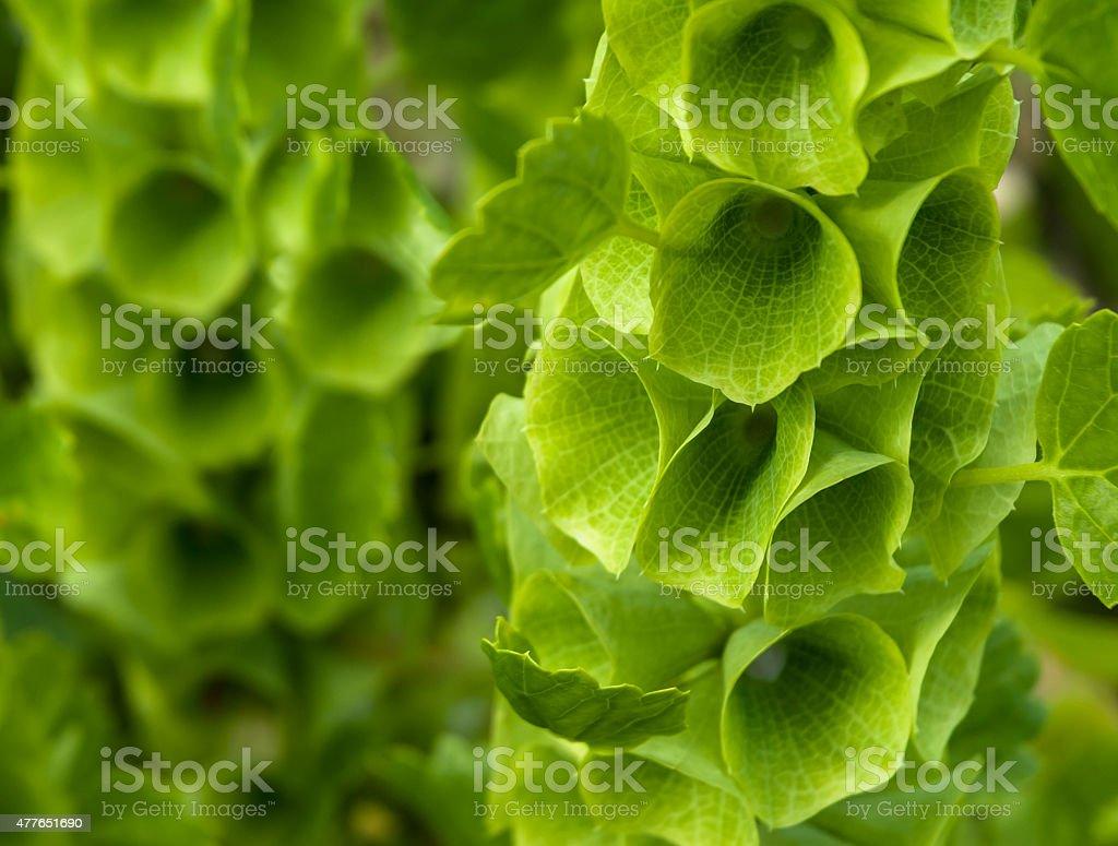 Bells of Ireland Flower stock photo