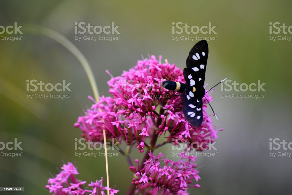 Amata phegea royalty-free stock photo