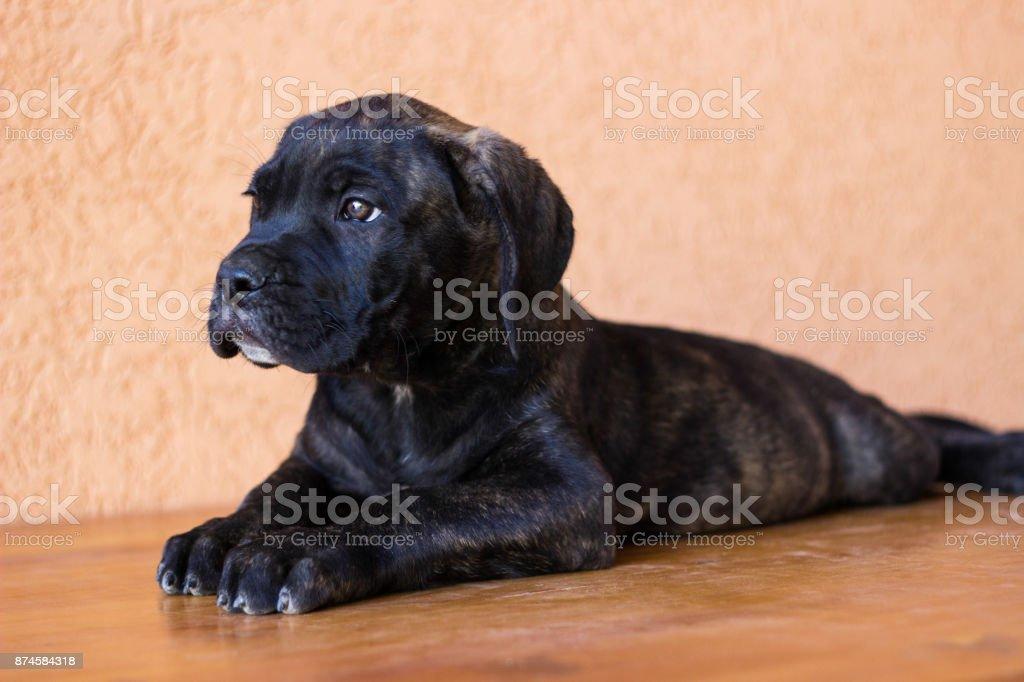 Beloved Puppy stock photo