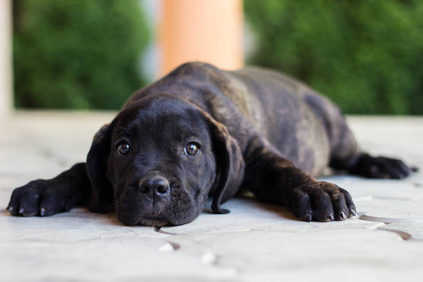 Beloved Puppy Cute Cane Corso puppy lying down and looking at camera cane corso stock pictures, royalty-free photos & images