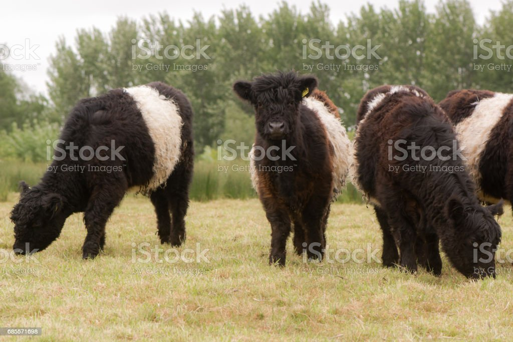 Belted galloway cattle grazing royalty-free 스톡 사진