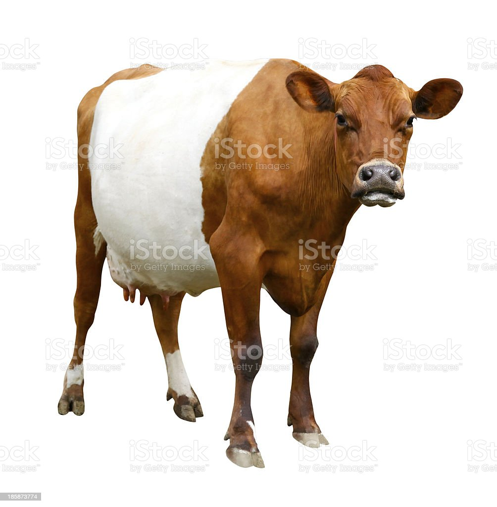 Belted Galloway Cow stock photo