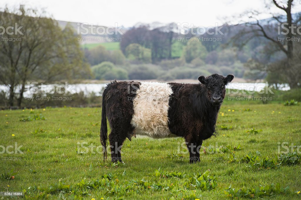 Belted Galloway cow standing in a field looking at camera stock photo