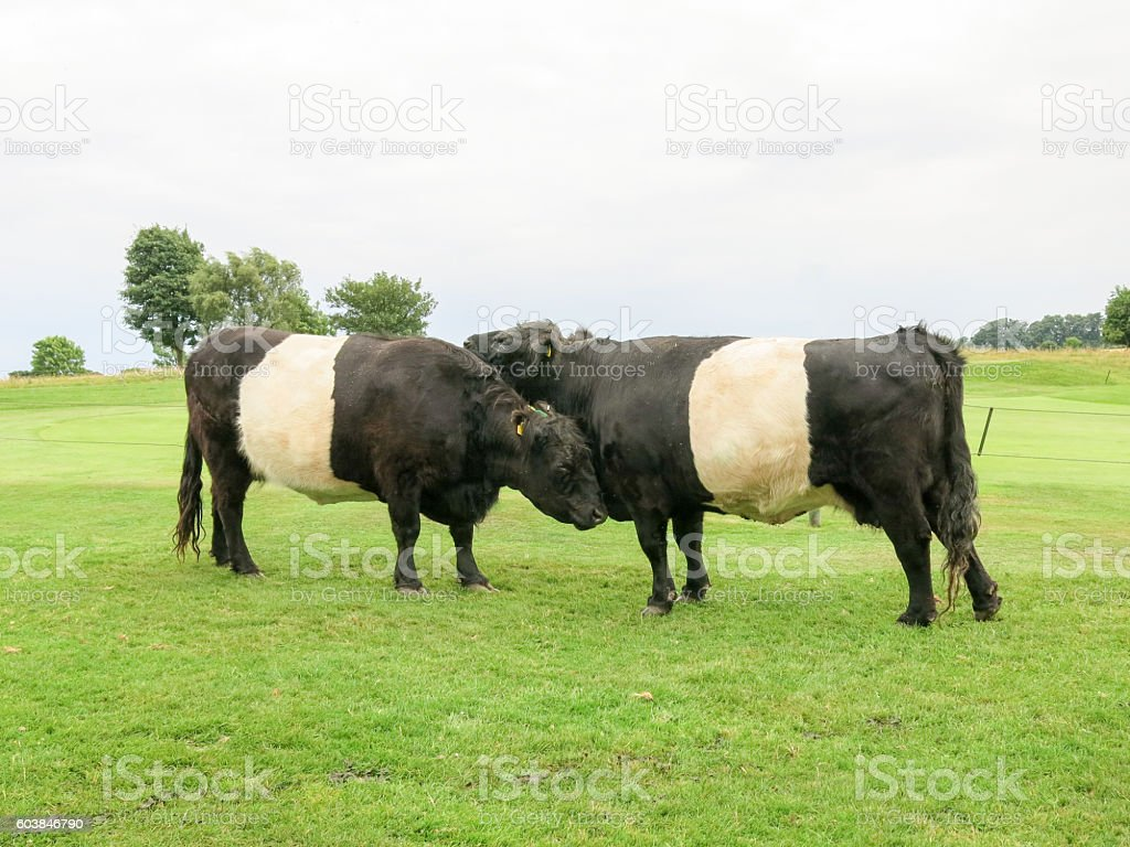 Belted Galloway cows on common pasture stock photo