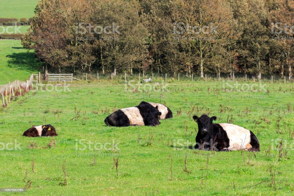 Belted Galloway stock photo