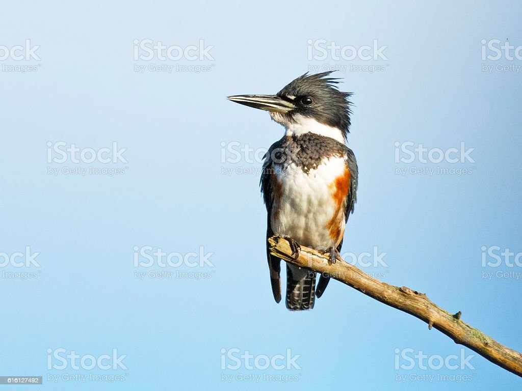 Belted Kingfisher Female stock photo