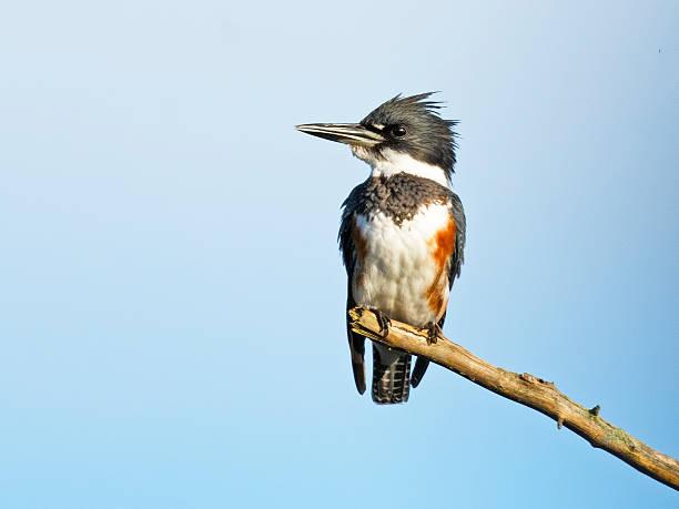 Belted Kingfisher Female stock photo