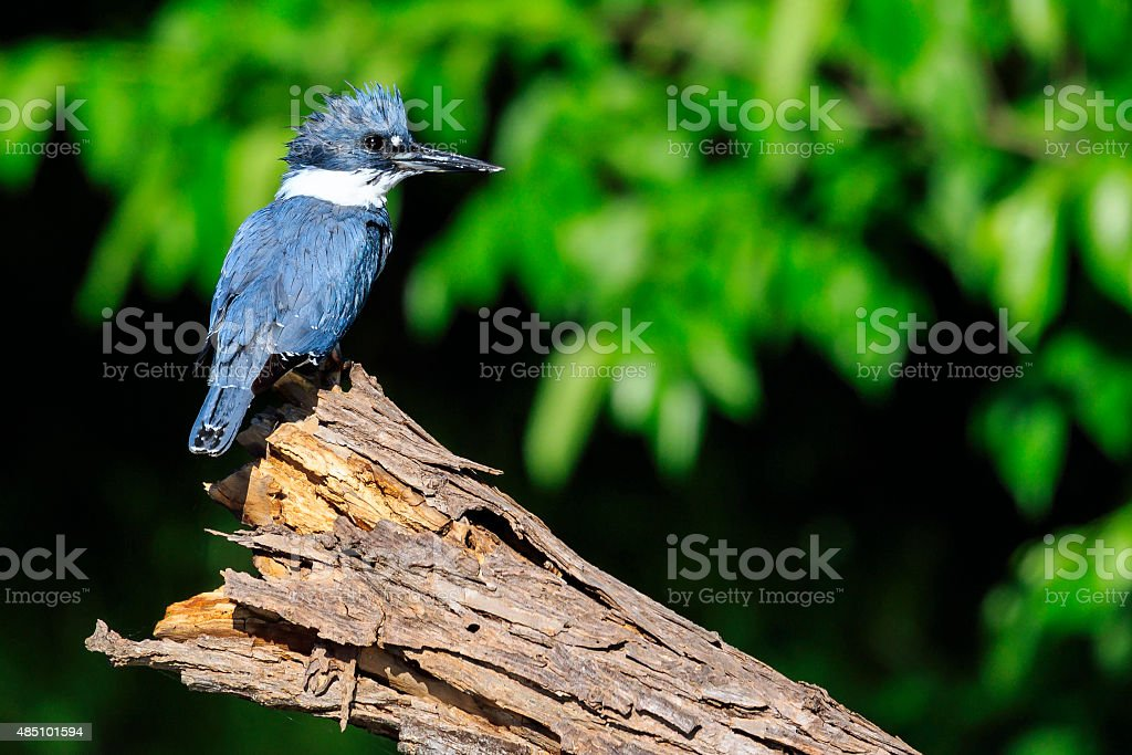Belted Kingfisher stock photo