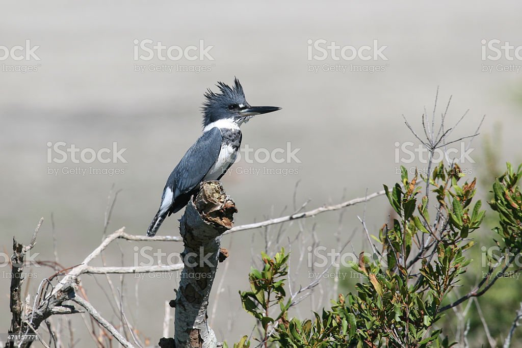 Belted Kingfisher With Crest Up royalty-free stock photo