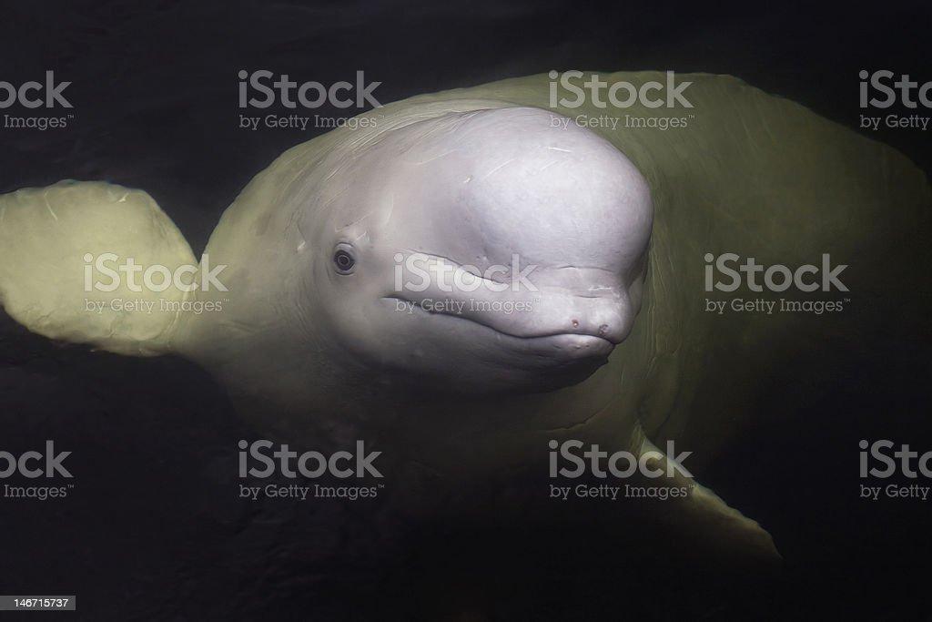 Beluga whale looks from underwater stock photo