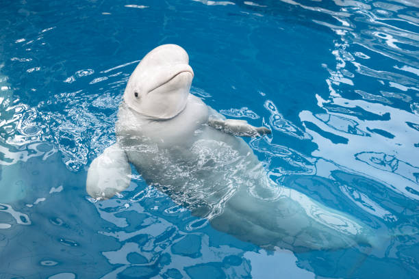 Beluga Whale Beluga Whale, Whale, White Whale, Underwater cetacea stock pictures, royalty-free photos & images