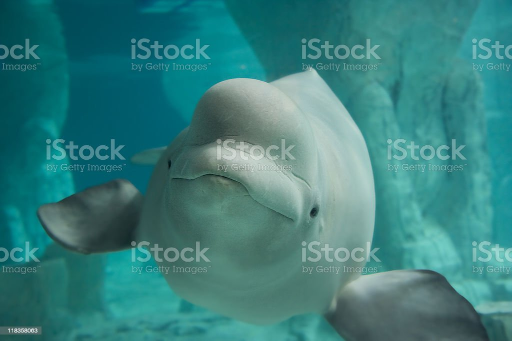 Beluga Whale stock photo