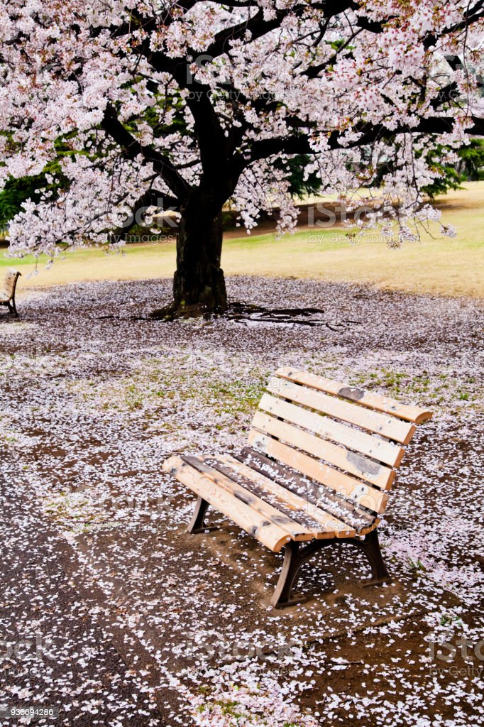 A bench under cherry blossoms stock photo