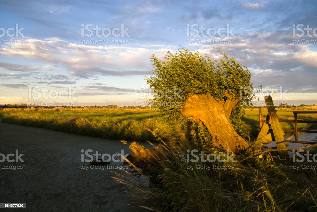 Bended willow tree stock photo