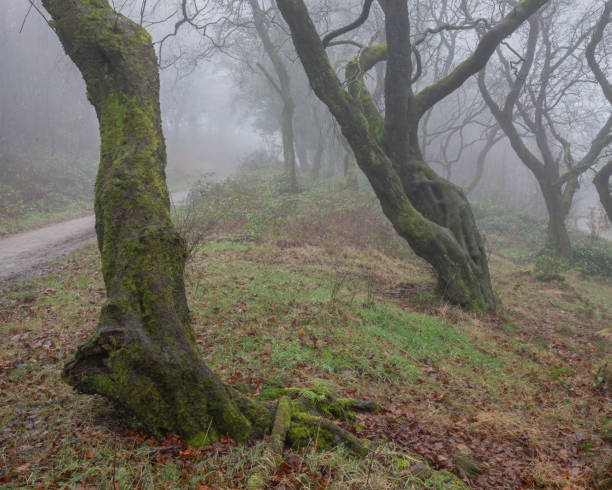 Bendy trees in the mist. stock photo