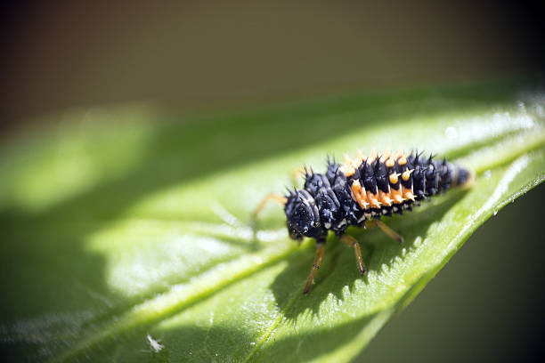 Beneficial Insect stock photo