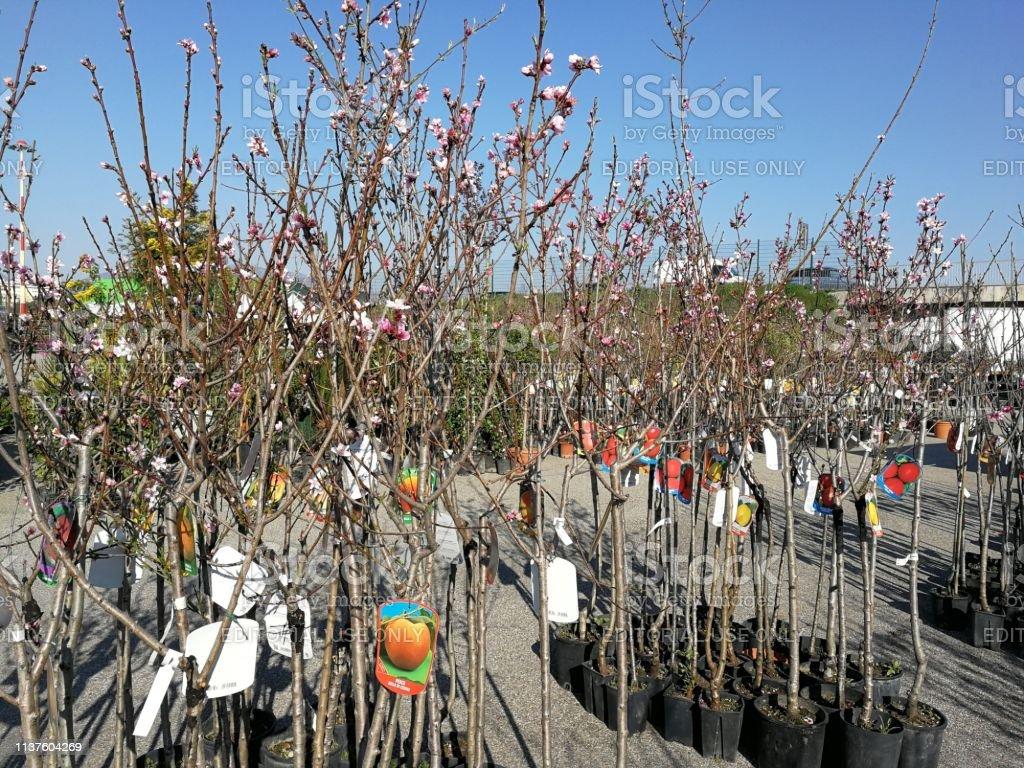 Foto Di Alberi Da Frutto benevento alberi da frutto in esposizione alla fiera di san
