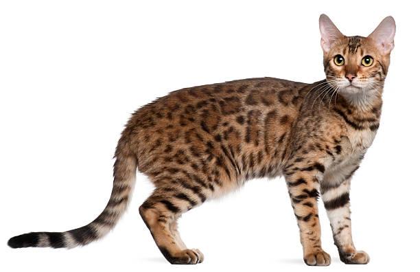 Bengal cat 7 months old standing in front picture id168819900?b=1&k=6&m=168819900&s=612x612&w=0&h=m5qyivsqec73c9d06pk5vg4nuasjqlqb3ijreyjcva4=