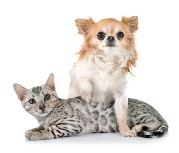 Bengal cat and chihuahua picture id1137057869?b=1&k=6&m=1137057869&s=612x612&w=0&h= cq3rhpg2qem9xhxtv h8axfyikuwpivumfyi oycj0=