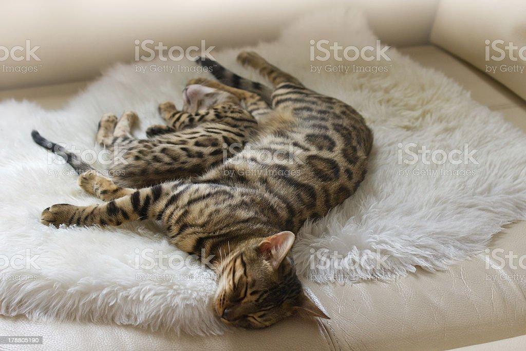 Bengal Cat and Kitten sleeping on Sofa stock photo