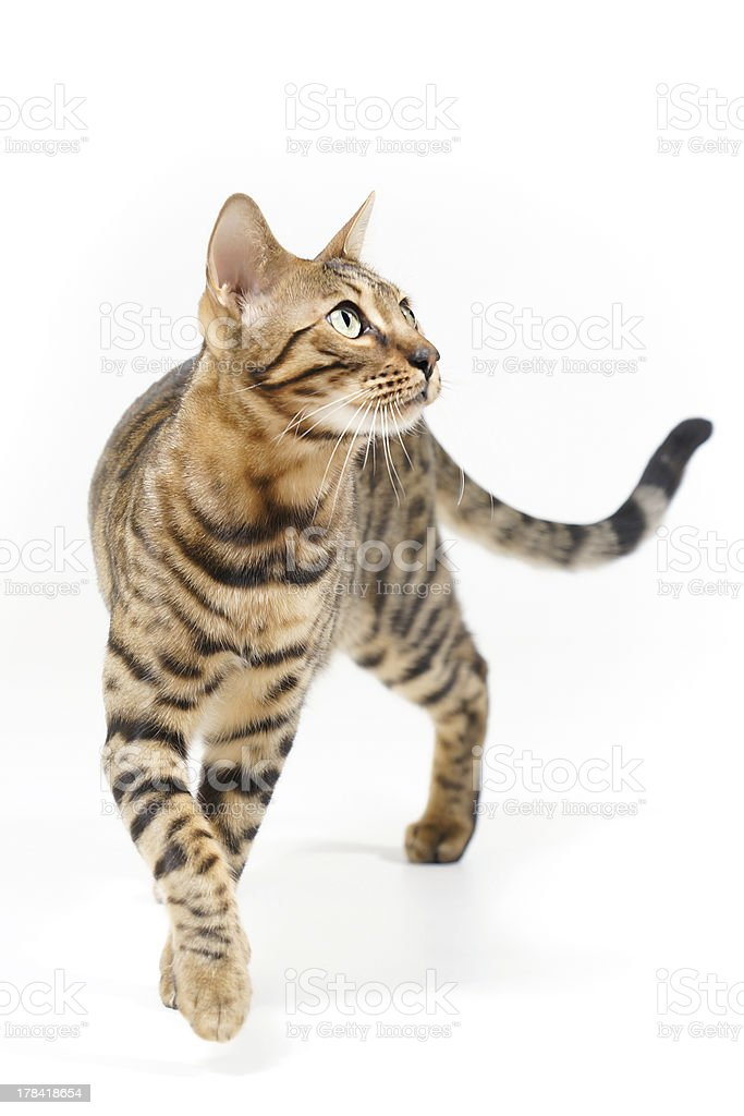 Bengal Cat attentive looking stock photo