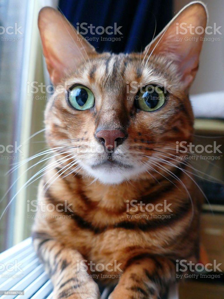 Bengal cat: Bengal cat head looking in camera stock photo