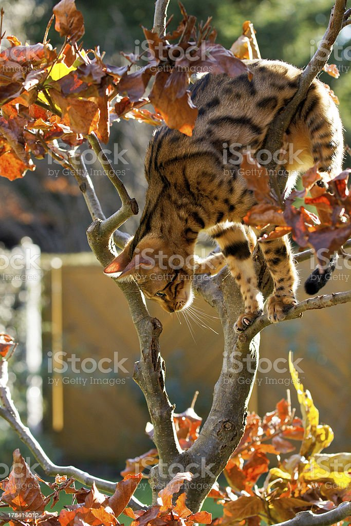 Bengal Cat climbing on small Tree stock photo