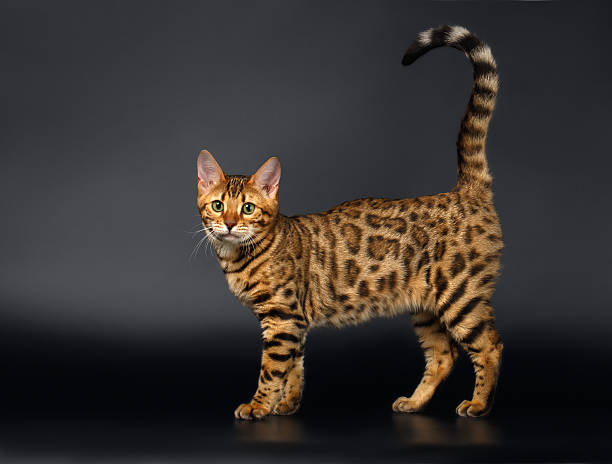 Bengal cat curious looking in camera on black background picture id473502430?b=1&k=6&m=473502430&s=612x612&w=0&h= 4i8d0pu88fxr u0ivmbypmlfmpvxr3wapl3ou nq7q=