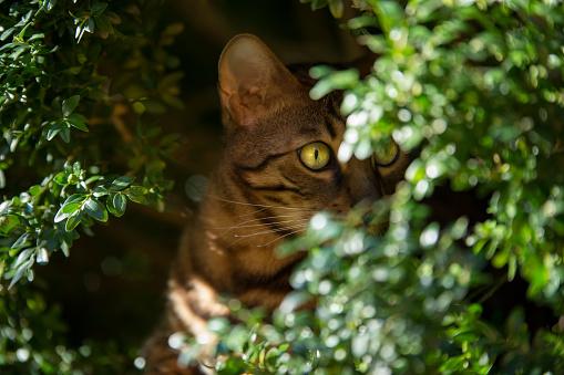 Bengal Cat in Bush