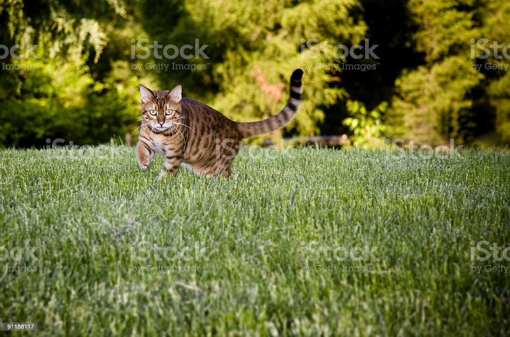 Bengal Cat in grass royalty-free stock photo