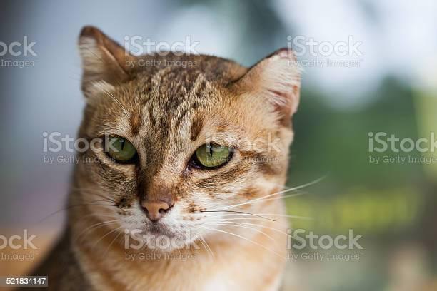 Bengal cat in light brown and cream picture id521834147?b=1&k=6&m=521834147&s=612x612&h=8ym2gohzuhd3r kti85galryeb6firghczluvi39zik=