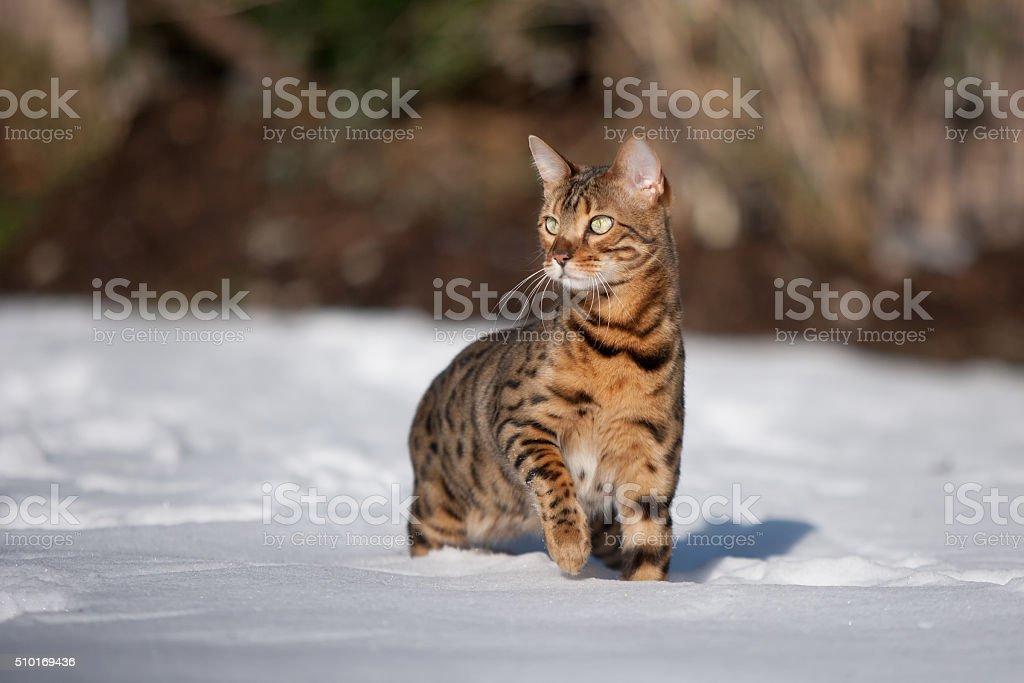 Bengal Cat in Snow stock photo