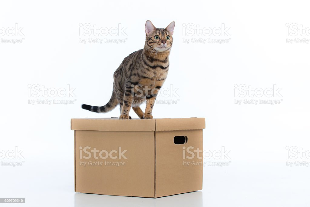 Bengal cat is is on top of the box. stock photo