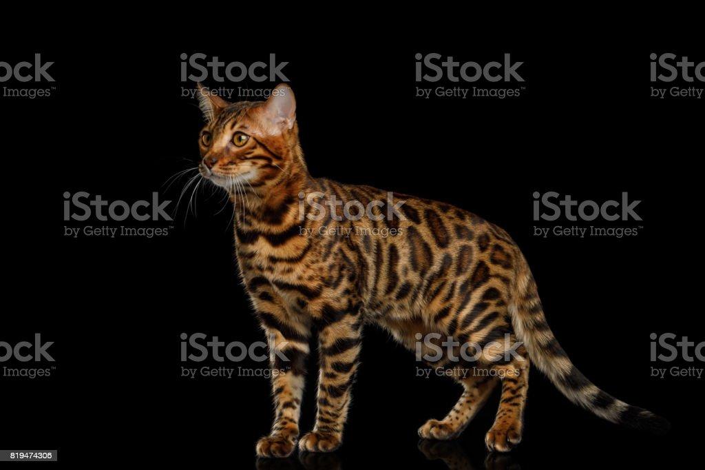 Bengal Cat isolated on Black Background stock photo