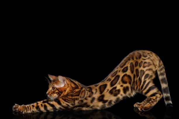 bengal-katze isoliert auf schwarzem hintergrund - gedehnte ohren stock-fotos und bilder