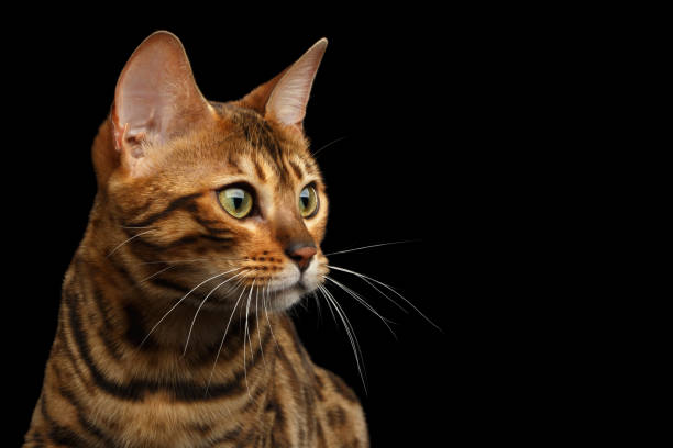 Bengal cat isolated on black background picture id874437922?b=1&k=6&m=874437922&s=612x612&w=0&h=6yb0uhpuaty4 p7rotct7ro 0mn3rs9xkppmrk1f1my=