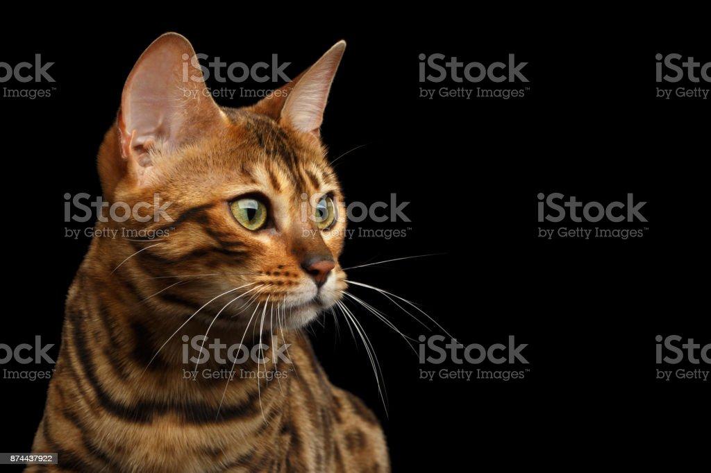 Gato de Bengala isolado no fundo preto - foto de acervo
