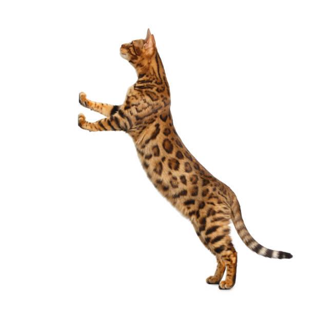Bengal cat isolated on white background picture id874438406?b=1&k=6&m=874438406&s=612x612&w=0&h=fvwg5r1ig2vcg4diksv4y16t85l4hyojztie 2bcgu8=