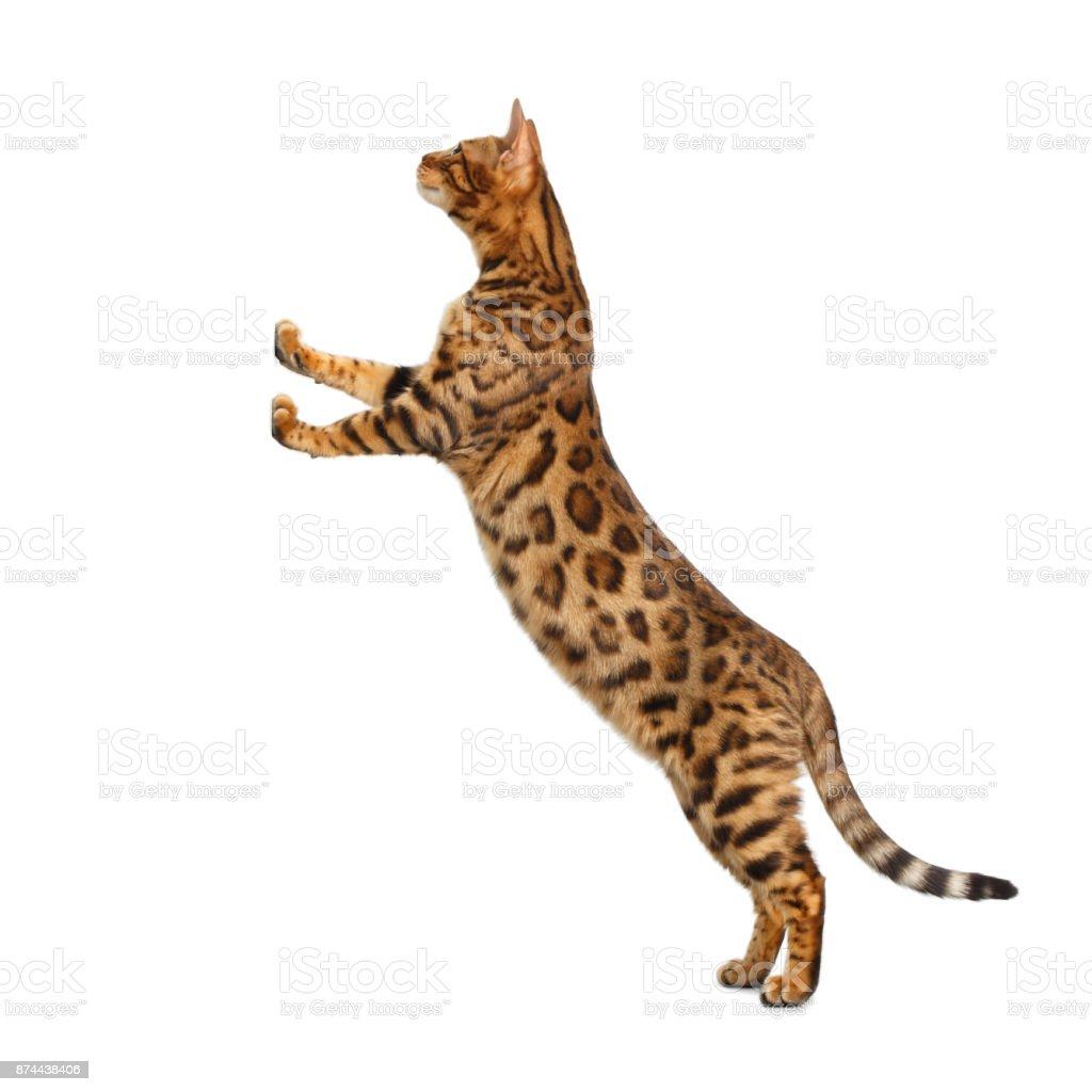 Bengal Cat isolated on White Background stock photo