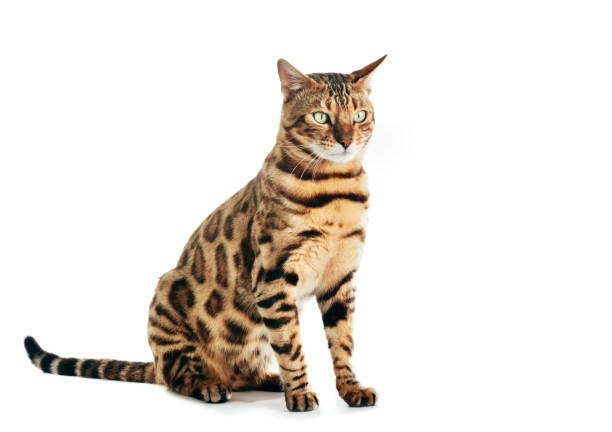 Bengal cat isolated on white background. Purebred stock photo