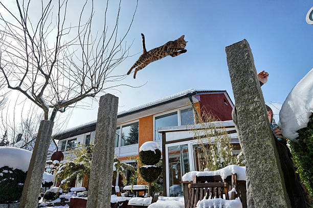 Bengal cat jumping in snowy garden picture id178416152?b=1&k=6&m=178416152&s=612x612&w=0&h=tqvk9j4num5 golidevs ub3zohu6ebnmffc08dk9nc=