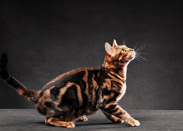Bengal cat jumping picture id184102535?b=1&k=6&m=184102535&s=612x612&w=0&h= rn8iwi0emzkzi3r nc0e4e1bjqhxgmt9hiqkpfnzjy=