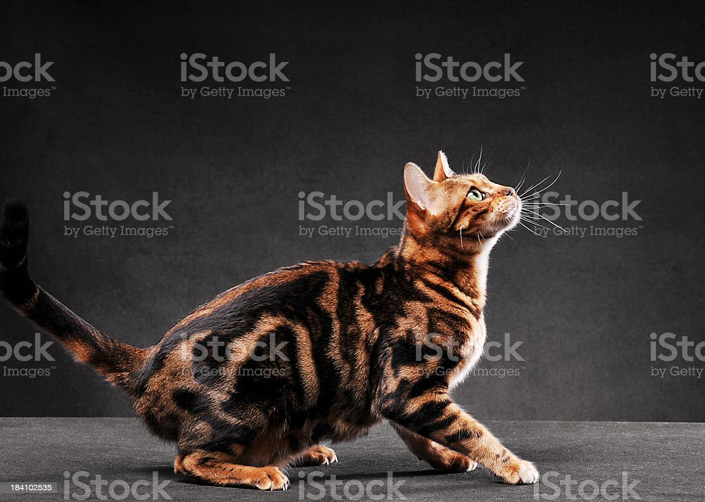 Bengal cat jumping stock photo