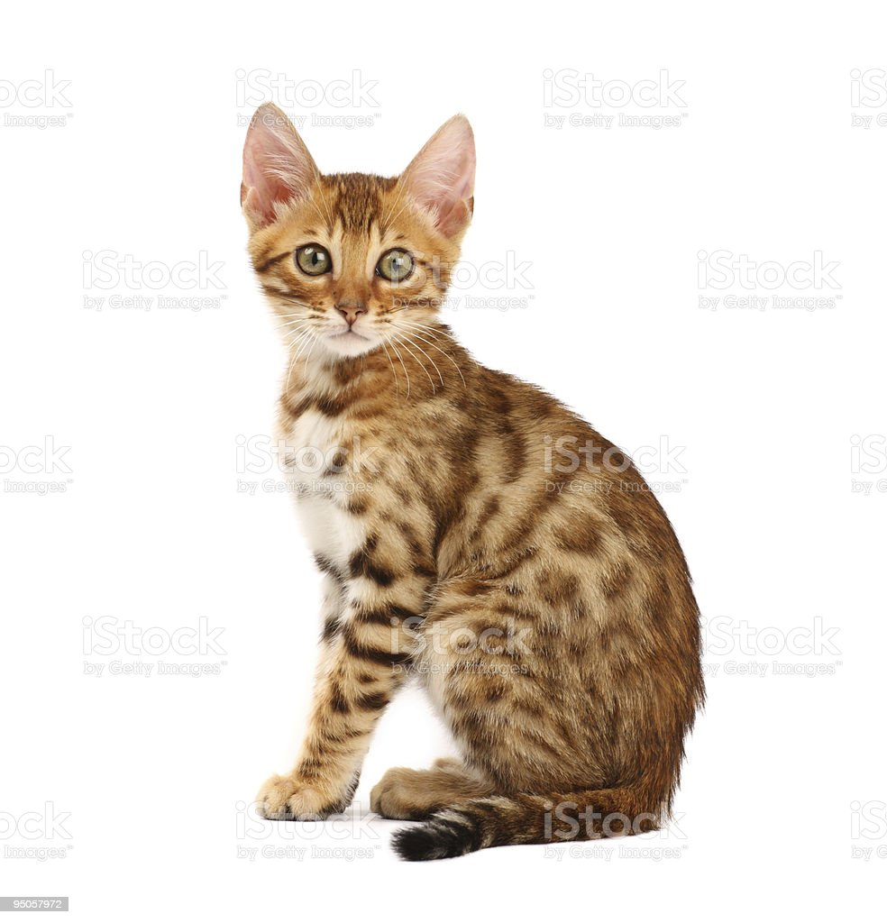 Bengal cat kitten looking at camera against white background stock photo