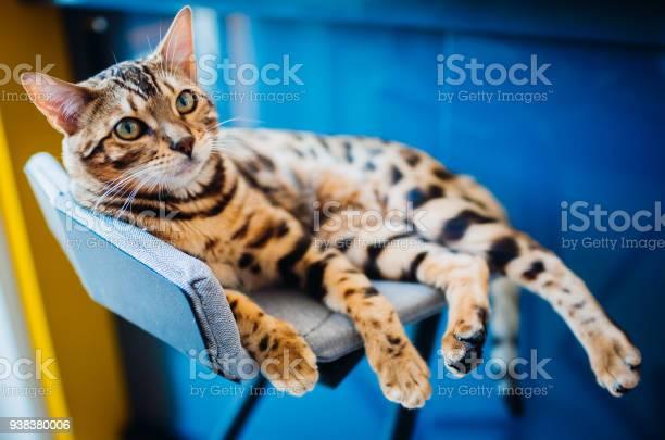 Bengal cat lies on grey chair picture id938380006?b=1&k=6&m=938380006&s=612x612&h=9u q2ez4pamtrucvreq91bh9insctojq2qalgm7w128=