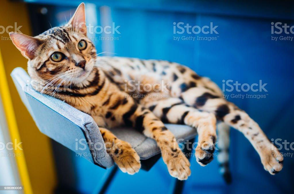Gato de Bengala se encuentra en la silla gris - foto de stock