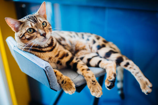 Bengal cat lies on grey chair Bengal cat lies on grey chair undomesticated cat stock pictures, royalty-free photos & images