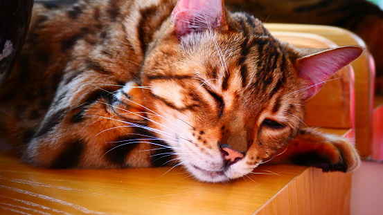 Bengal cat lying with crossed paws in close-up