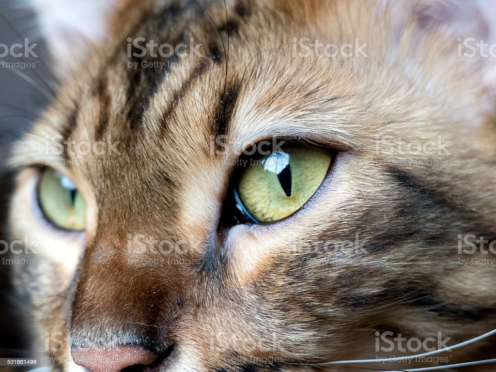 5690047d52 Bengal cat  Marble bengal cashmere cat taken at home royalty-free stock  photo