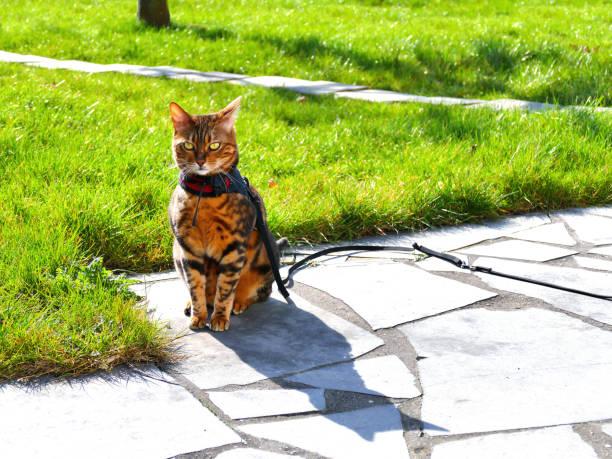 bengal-katze auf ein geschirr und leine sitzen außen frontansicht - katzengeschirr stock-fotos und bilder